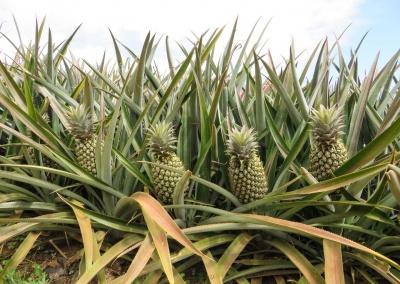 ananas en pousse