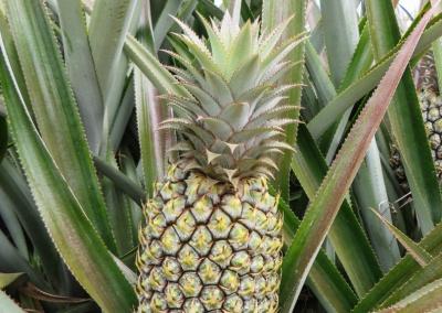 1 ananas vert