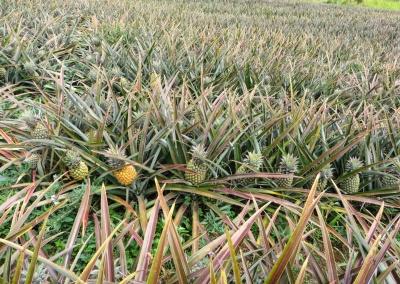 ananas en rangée
