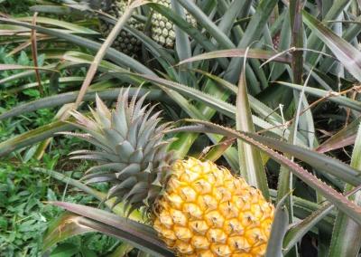 ananas sur pied mûr