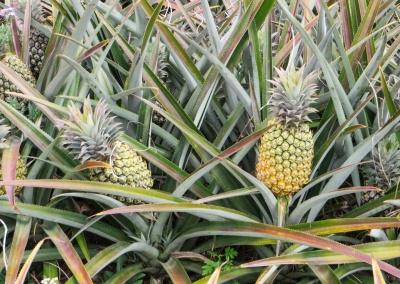 ananas à mi maturitée
