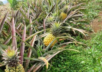ananas en perspective