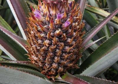 ananas en fleur