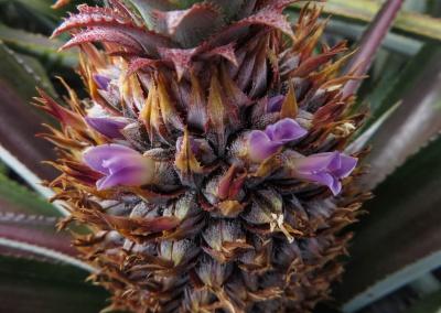 fleur d'ananas en gros plan