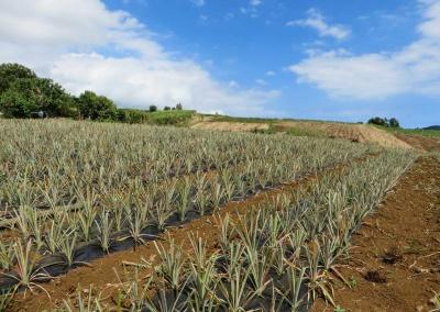 champs début de plantation