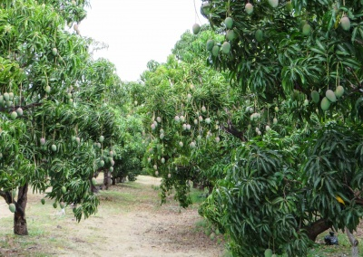 perspective champ de manguier