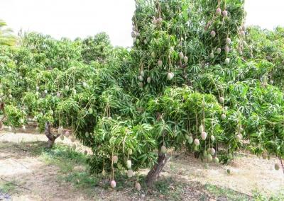 beau manguier
