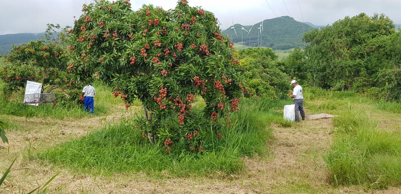 Les premiers letchis avec ce cultivar précoce