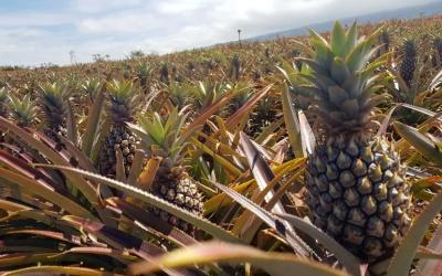 Importante Exportation d'Ananas